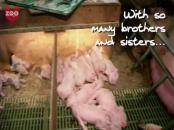 how to give piglets a bath