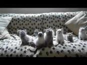 British Shorthair Kittens Like Dancing